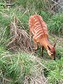 Sitatunga at the Maryland Zoo.jpg