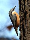 Sitta europaea wildlife 2 1
