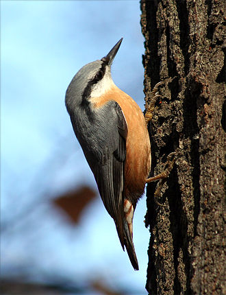 Nuthatch - A Eurasian nuthatch climbing a tree trunk in search of food