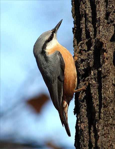 Fil:Sitta europaea wildlife 2 1.jpg
