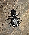 Six Spot Ground Beetle Anthia sexguttata by Dr. Raju Kasambe DSCN9917 (9).jpg