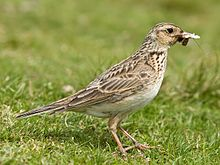 Skylark 2, Lake District, England - June 2009.jpg