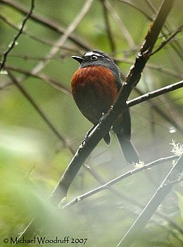 Slaty-backed Chat-Tyrant (440456161).jpg