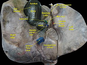 Cystic duct
