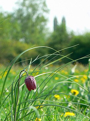 Common land - Snake's head fritillary, North Meadow, Cricklade. This is grazed as Lammas common land.