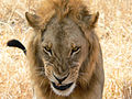 Snarling lion.jpg