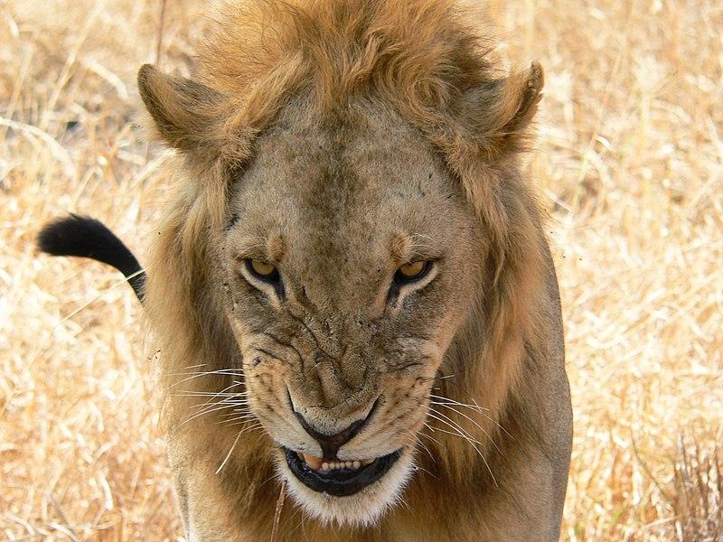 File:Snarling lion.jpg
