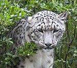 Snow Leopard 1 (4693059450).jpg