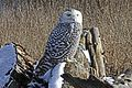Snowy Owl - Bubo scandiacus, Boundary Bay, British Columbia - 6704936907.jpg