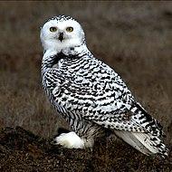 Snowy Owl Barrow Alaska.jpg