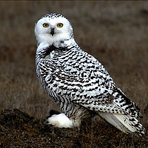 Snowy owl - Young owl on the tundra at Barrow, Alaska. Snowy owls lose their black feathers with age, although individual females may retain some