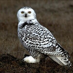 Young Snowy Owl on the tundra at Barrow Alaska.
