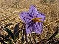 Solanum quadriloculatum (wild tomato) flower.jpg