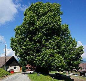 Sommerlinde, Carinthialinde beim vulgo Zemroser in Kreuth, Bezirk St. Veit an der Glan, Kärnten.jpg