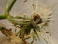 Sonchus oleraceus PID1701-2.jpg