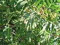 Sorbus aucuparia1.jpg