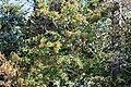 Sorbus aucuparia Sorbier des oiseleurs.jpg