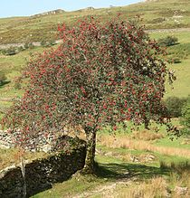 Sorbus aucuparia on Y Garn.jpg