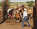 Sorting bucking horses in pen.jpg