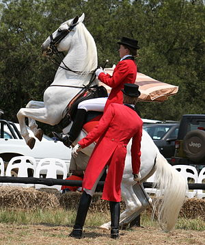 Rearing (horse) - A highly trained horse performing the Pesade, a carefully controlled classical dressage movement where the horse raises its forehand off the ground for a brief period