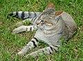 Southern African Wildcat (Felis sylvestris cafra) female ... (captive specimen) (39789072173).jpg