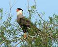 Southern Caracara (Caracara plancus) - Flickr - Lip Kee (2).jpg