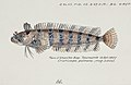 Southern Pacific fishes illustrations by F.E. Clarke 22.jpg