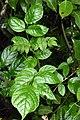 Spathodea campanulata - സ്കൂട്ട്മരം.jpg