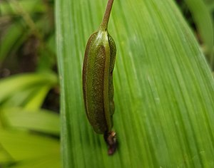 Spathoglottis - Image: Spathoglottis plicata (Philippine ground orchid) capsule