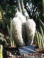 Specimen of Oreocereus celsianus from the Huntington Botanical Gardens.jpg