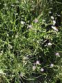 Spergularia rubra Oulu, Finland 25.07.2013.jpg