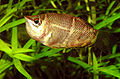 Sphaerichthys breeding.jpg