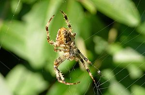 Spider in the web (approx. 10 mm - 0.35 inch b...