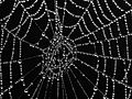 Spider web with morning dew.jpg