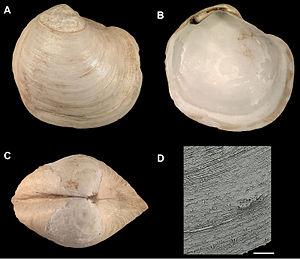 Thyasiridae - Spinaxinus sentosus