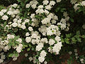 Spiraea × vanhouttei1.jpg