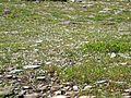Spring Beauty (Claytonia lanceolata) in Logan Pass - Flickr - Jay Sturner (1).jpg