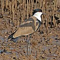 Spur-winged lapwing (Vanellus spinosus) Gambia.jpg