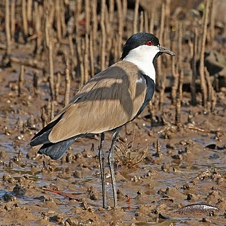 Spur-winged lapwing - in Gambia