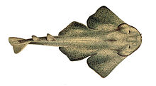 Illustration of an angelshark from above