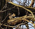 Squirrel in Mote Park, Maidstone - geograph.org.uk - 91816.jpg