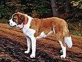 St Bernard Dog 001.jpg