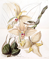 Stanhopea quadricornis by Sarah Ann Drake. Edwards's Botanical Register vol. 24, t. 5 (1838) (S.A. Drake).tiff