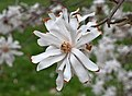 Star Magnolia Magnolia stellata 'Royal Star' Flower High DoF.jpg
