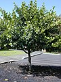 Starr-010425-0042-Clusia rosea-habit-Haiku-Maui (23905668193).jpg