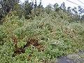 Starr-011205-0068-Tibouchina urvilleana-habit-Hwy11-Hawaii (24461534221).jpg