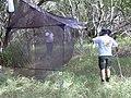Starr-030625-0025-Cynodon dactylon-malaise trap with Frank and crew-Kahului-Maui (24267981129).jpg