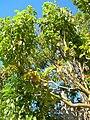 Starr-051217-5756-Cinnamomum camphora-habit-Auwahi-Maui (24824021076).jpg