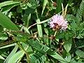 Starr-061109-1517-Mimosa pudica-flowers-Kokomo Rd Haiku-Maui (24573365480).jpg