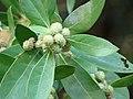 Starr-070727-7617-Conocarpus erectus-leaves and fruit-Ala Moana Beach Park-Oahu (24522473799).jpg